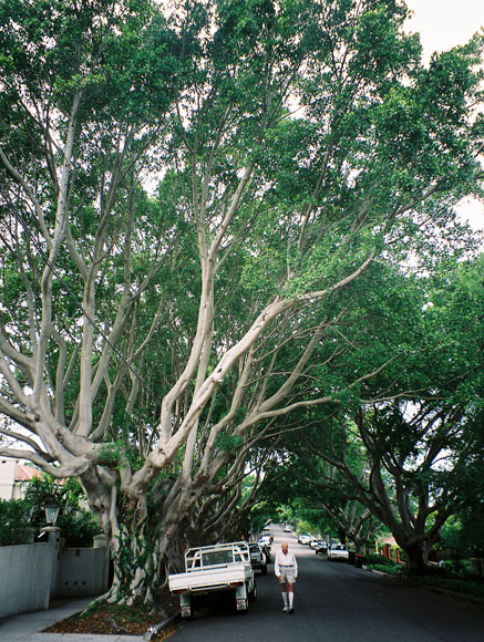 bellevue-hill-tree-large-overhanging