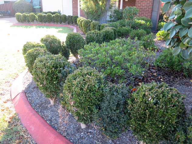 milperra-dominoes-shrubs-ush.jpg