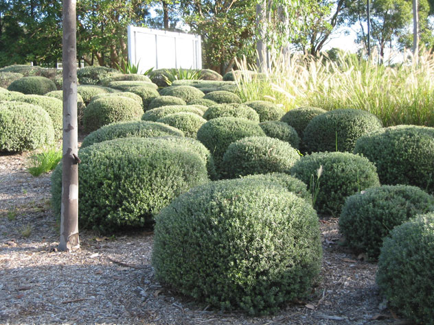 oxford-falls-shrubs-balls-ush.jpg