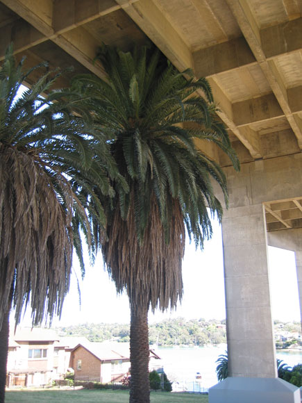 drummoyne-palm-tree-under-bridge-w.jpg