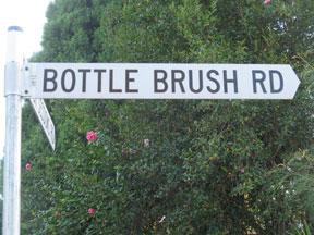 street-themes-shrubs-bottle-brush-kshr.jpg